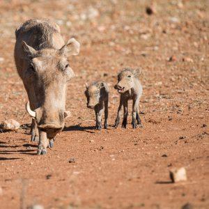 warthog with 2 babies