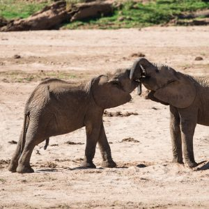 young elephant play fighting