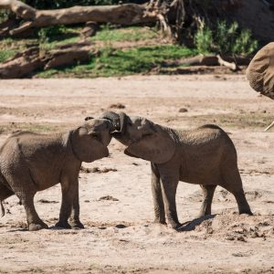 young elephant play fighting. As it gets more serious the mother intervenes