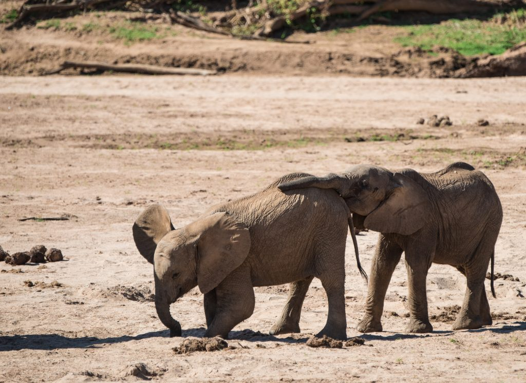 baby elephant digging in the sand while the second one starts to push from behind