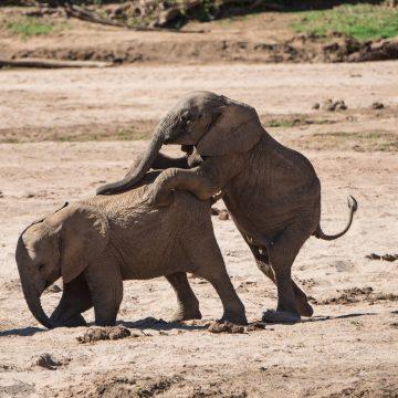 Baby elephants play rough!