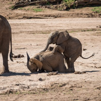 the baby elephant in front starts to collapse