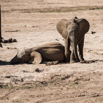 the baby elephant starts to move away leaving its playmate flat on the ground