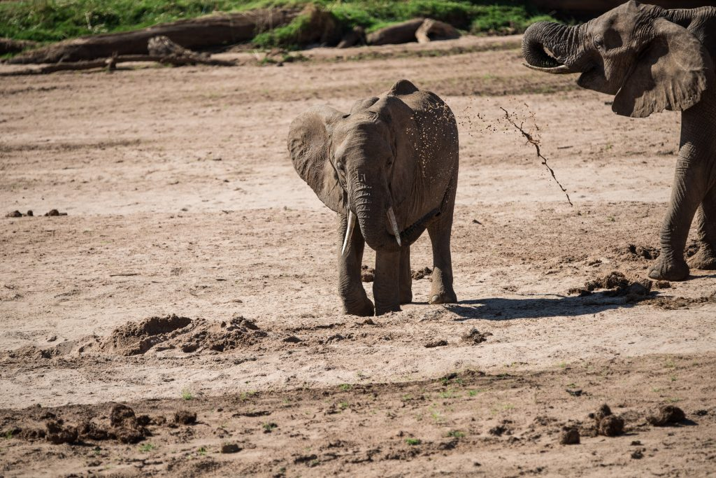 young elephant throwing water