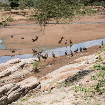 dry riverbed with large numbers of white backed vultures
