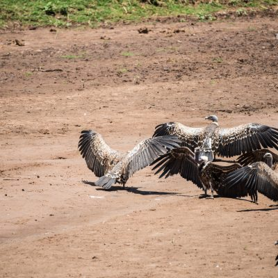 white backed vultures drying their wings in the sun