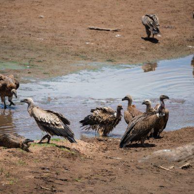 white backed vultures bathing