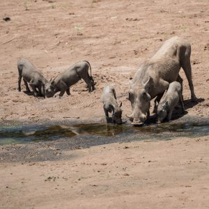 warthog with piglets eating and drinking in a puddle