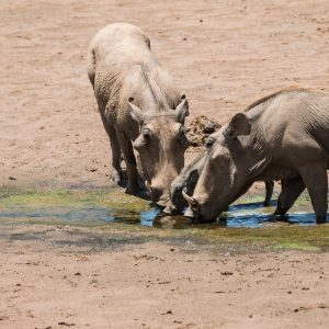 two adult warthogs with a piglet drinking