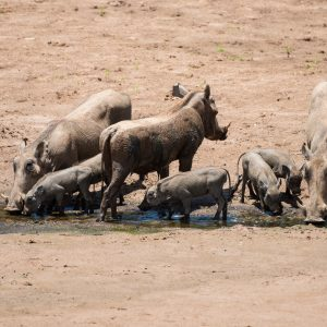 three warthogs with six piglets at a water source
