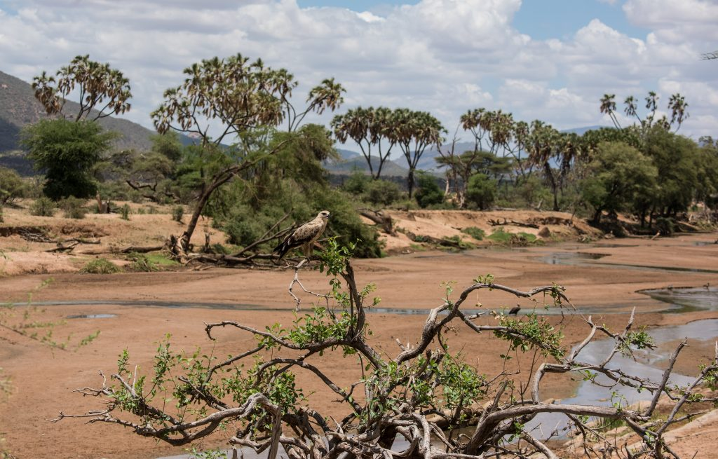 scenic view of the dried riverbed with a perched Tawney Eagle