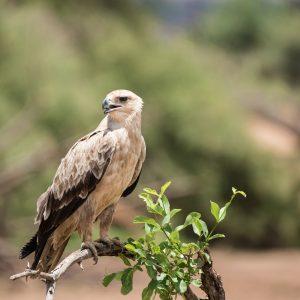 close up of tawny eagle
