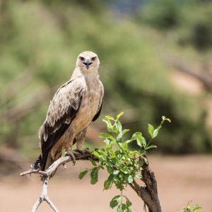 close up of a tawny eagle