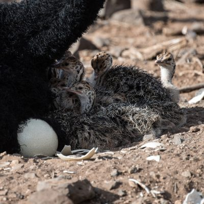 Somali ostrich chicks with unmatched egg
