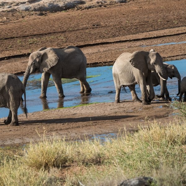 Three adult and two young elephants drinking