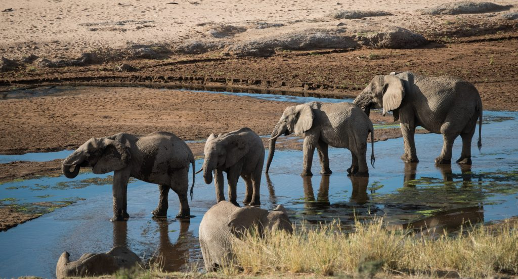 Elephants in a shallow stream drinking