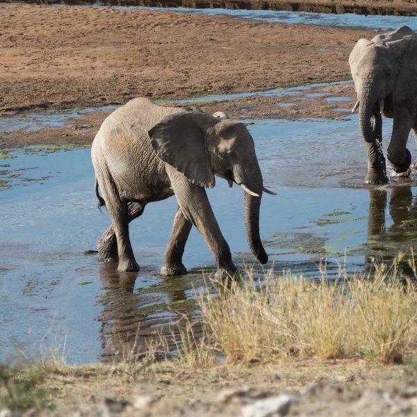 Elephants moving through a shallow stream