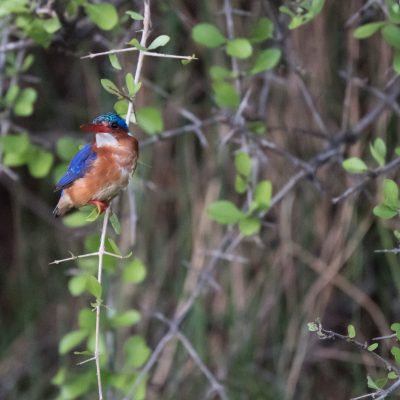 Malachite kingfisher perched looking to camera