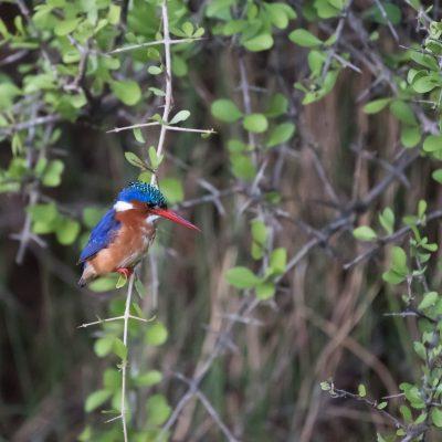 Malachite kingfisher side view