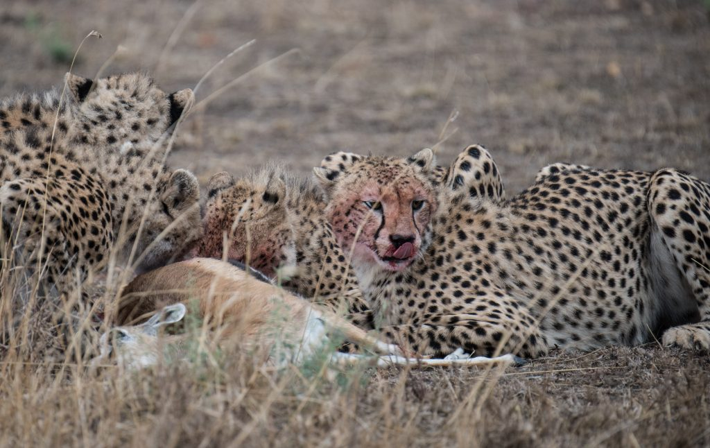 Cheetah on a kill, red faced, liking its lips