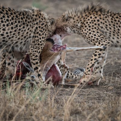 Two cheetah struggling with a kill