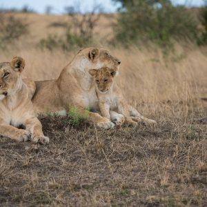 Lion cub nuzzling its mother