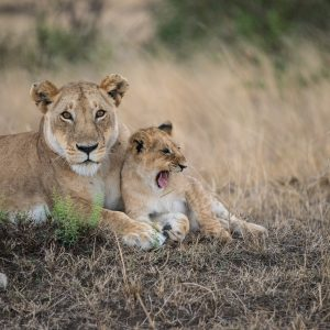 Lioness with yawning cub