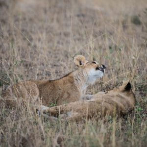 Lion cubs playing with long grass