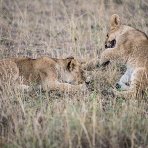 Lion cubs play, fighting
