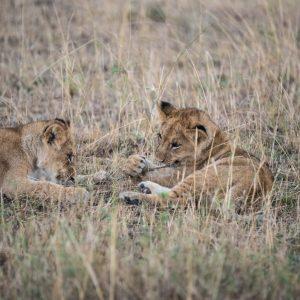 Lion cubs subduing a tough blade of grass