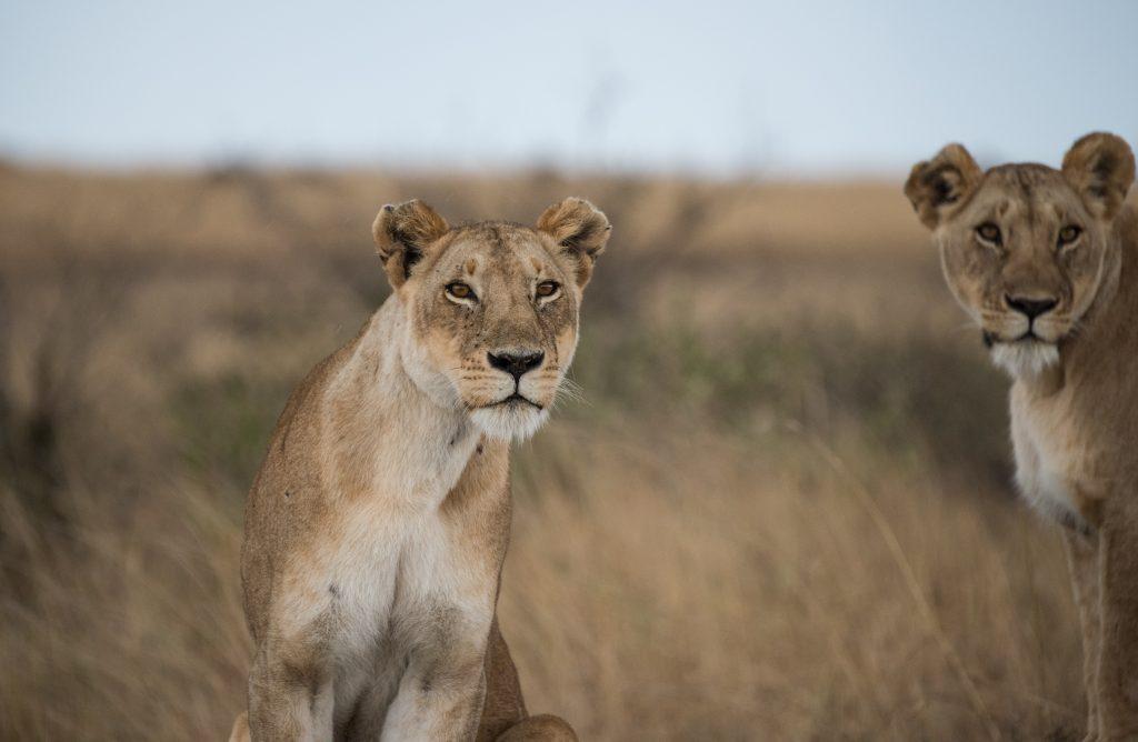Lionesses focussed on potential prey