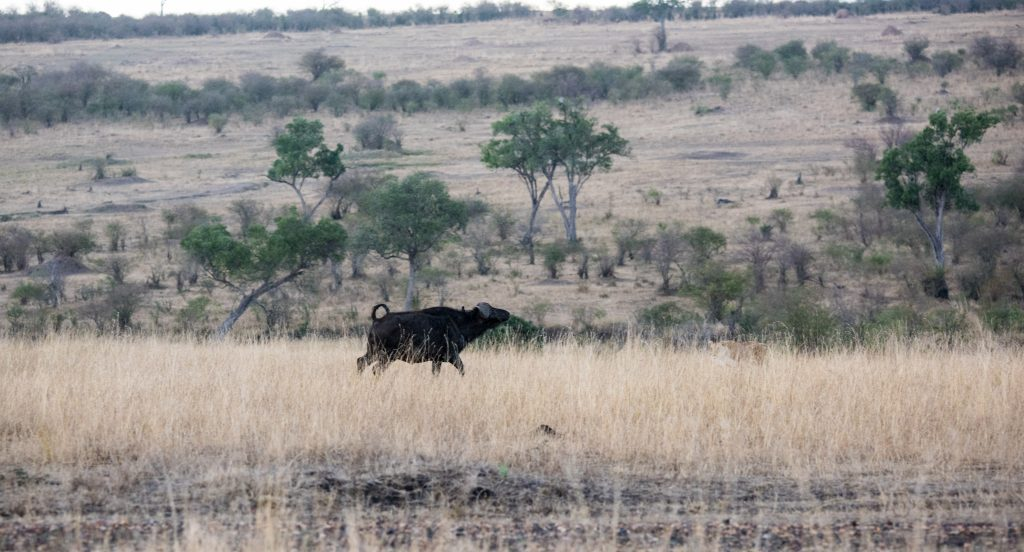 Cape buffalo turning to face the lionesses deep in the grass