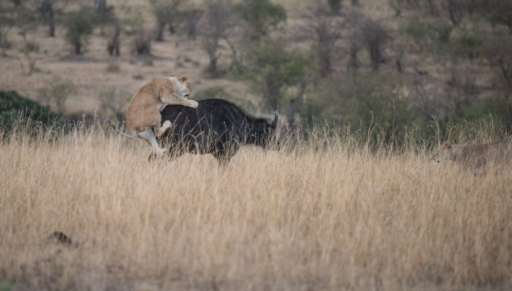 Lioness jumping on the back of the buffalo