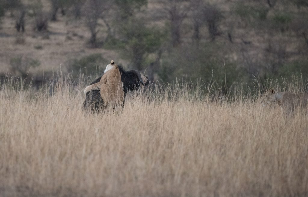 Lioness hanging on to the buffalo trying to use her weight to topple it
