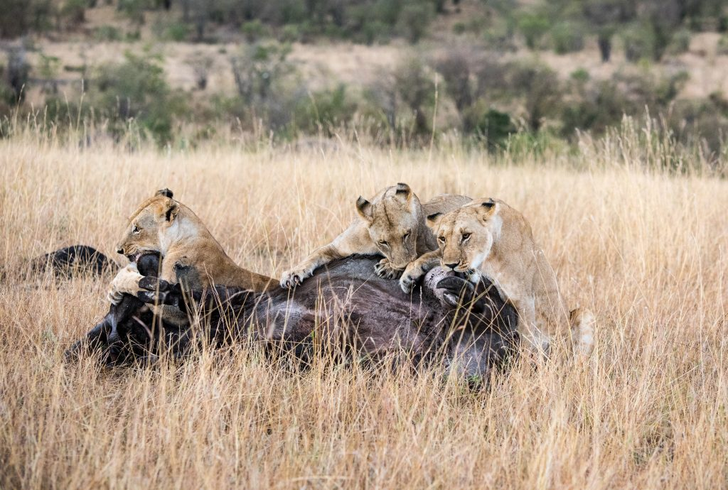 It takes the weight of three lionesses to keep the buffalo down
