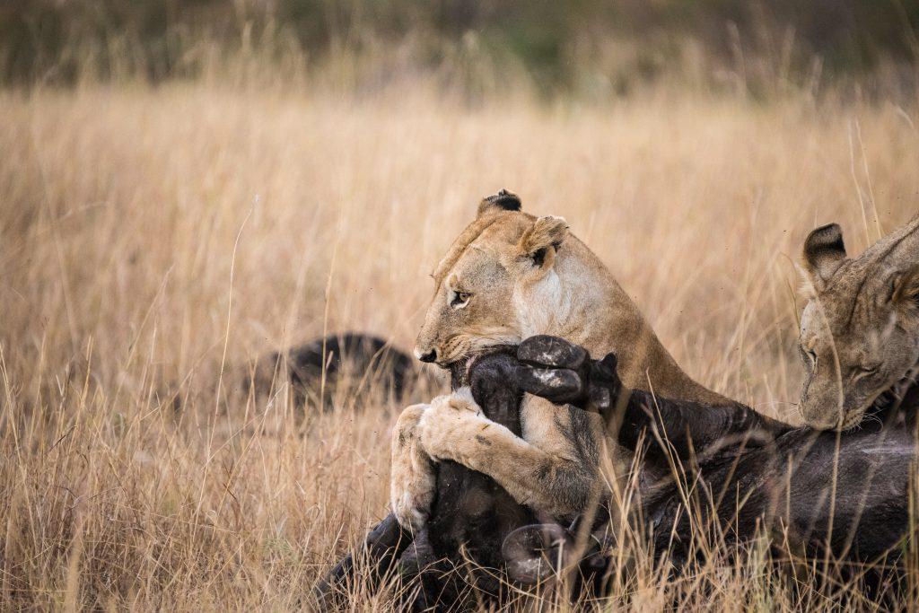 Buffalo is still struggling the lioness controls the thrashing legs
