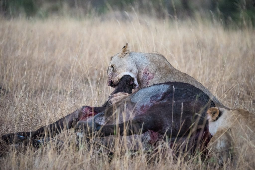 Lioness has the whole nose and mouth of the buffalo in her mouth