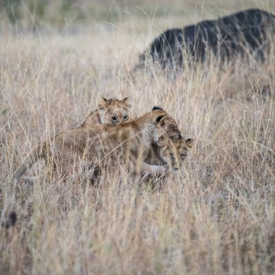 Lion cubs play in the long grass nearby