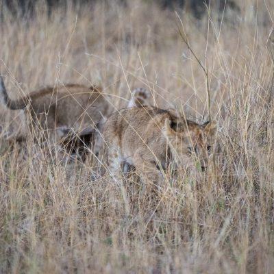 Lion cubs start to stalk