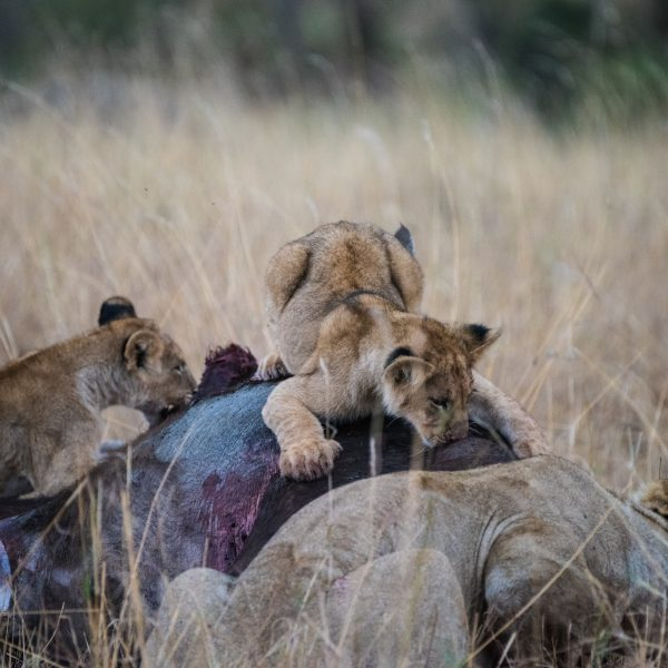 Cub adopts a 'kill' position on the back of the buffalo