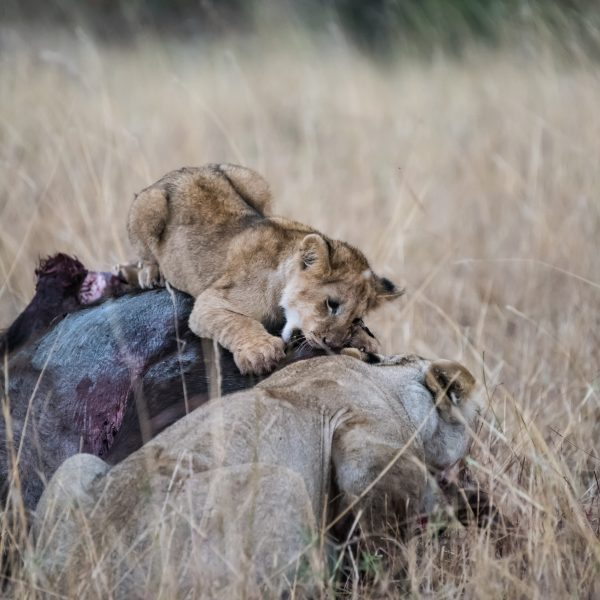 Cub practices getting its teeth into the hide of the buffalo