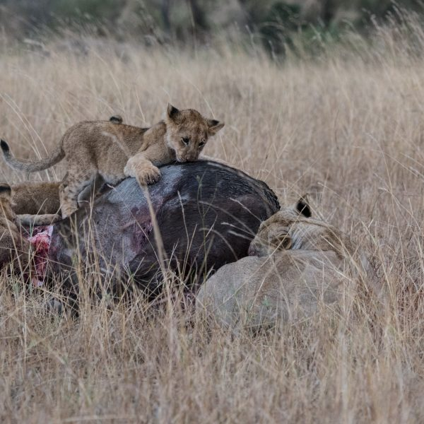 Lion cub clambers over the carcass