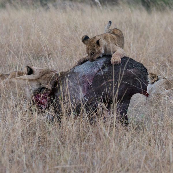Lion cub on the dead buffalo
