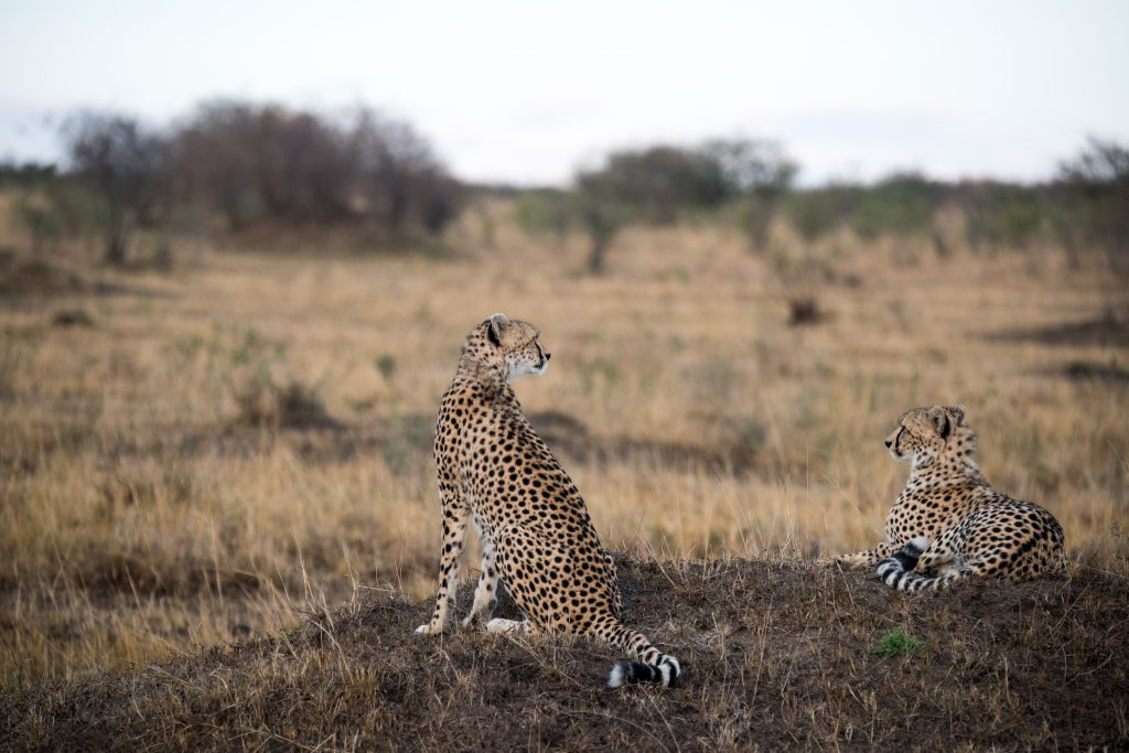 Two seated but alert cheetah looking out over the plain