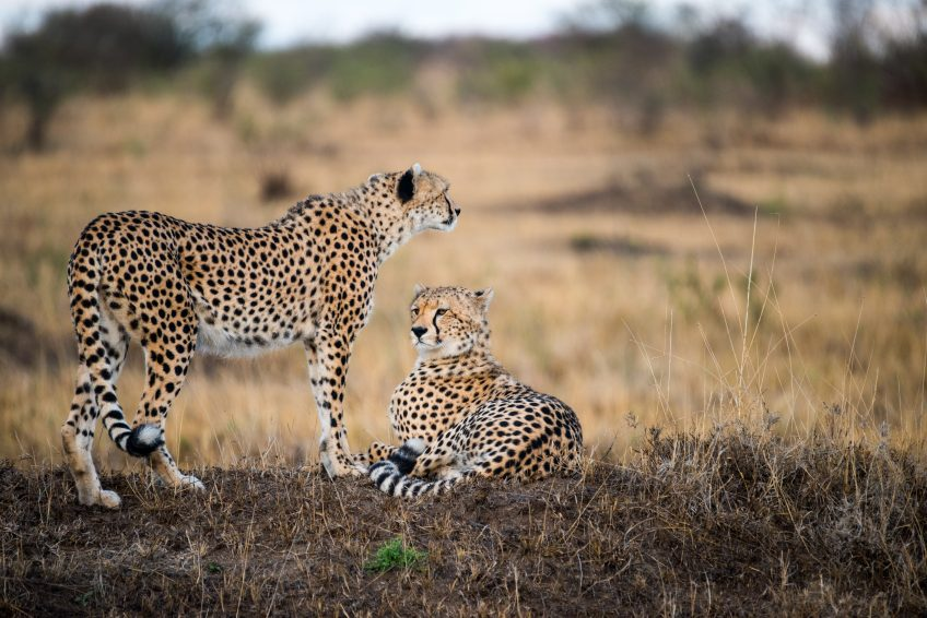 Cheetah and leopards