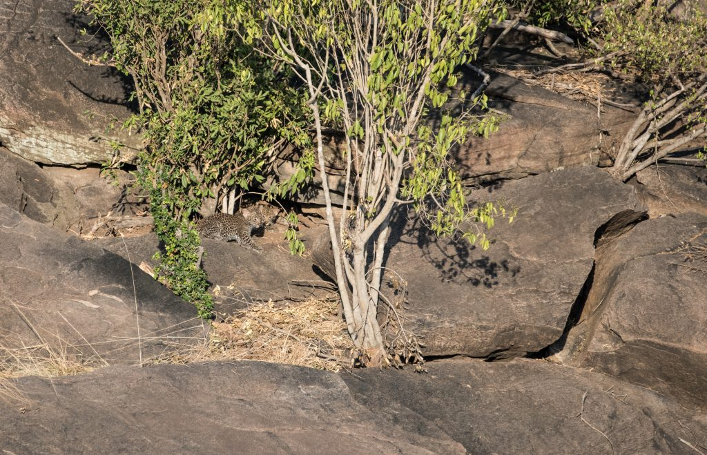 Two tiny leopard cubs close to the mouth of their den in the rocks