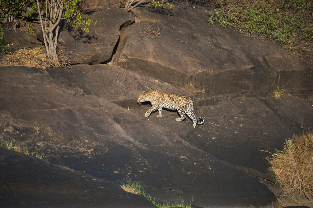 Adult female leopard making her way across the rocks to the cubs positioned in the top left corner of the picture
