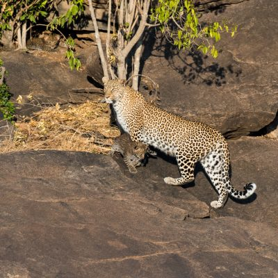 Tiny leopard cub is the same colour as the rocks