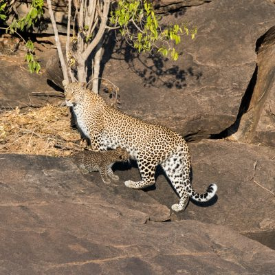 Leopard cub suckling