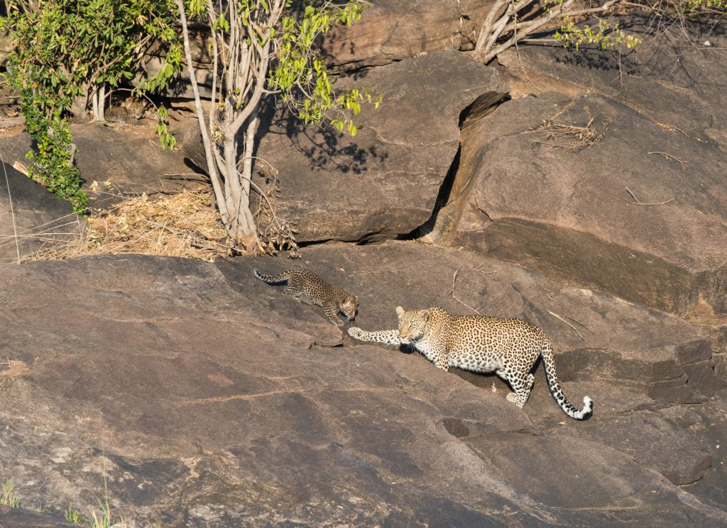 Adult leopard backing down the rocks as one cub follows down